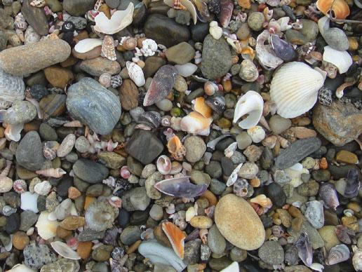 打ち上げられた貝類