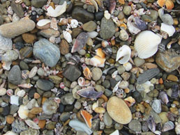 博多湾の波打ち際。よくみると沢山の貝殻がみつかります。