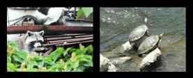 アライグマ(左-特定外来生物(環境省))、ミシシッピアカミミガメ(右)