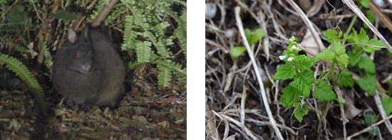 奄美大島でアマミノクロウサギ、喜界島固有種 ヒメタツナミソウ