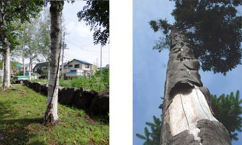 樹木のけが:幹の捻じれにより生じた割れ(左) トドマツの単木に生じた幹焼け(右)