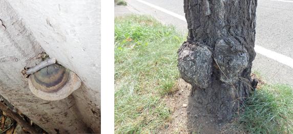 樹木の病気:モミサルノコシカケによる溝ぐされ病(左) コブ病(右)