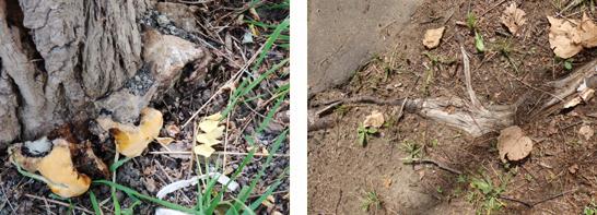 ハリエンジュの根際に発生したベッコウタケ(橙色の部分は幼菌)(左) 根上がりの例(右)