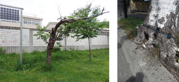 腐朽などで衰退したサクラの危険木(左) 植樹帯をはみ出さんばかりの根際(右)