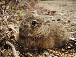 林道にうずくまっていたノウサギの子供。身の危険を感じた時は、この姿勢のまま微動だにしません。