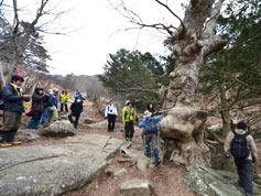山道脇に生えているケヤキ。巨木過ぎてなかなか木全体を撮影できません。