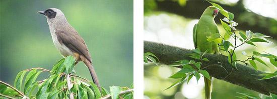 カオグロガビチョウ ワカケホンセイインコ