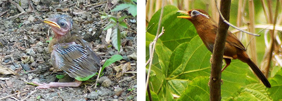 ガビチョウの雛。雛の頃はかわいらしい。ガビチョウ成鳥。ややでっぷりとした体形で、あまり長距離を飛ばない。