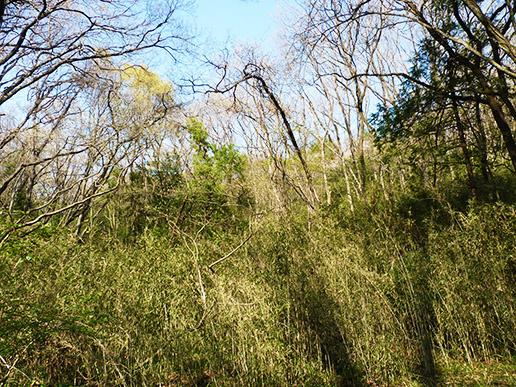 林床がササで覆われた雑木林 生物多様性は低下してしまう