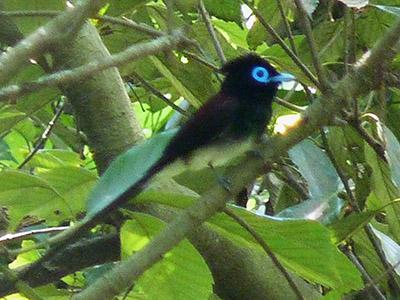 サンコウチョウ 里山の代表的な夏鳥だが、最近は少なくなっている。