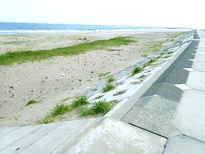 防潮堤表面にも海浜植物が生育