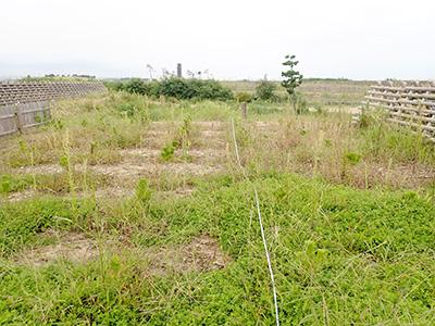 盛土したクロマツ植栽地