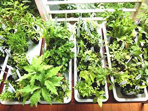 食べた果物や野菜の種などから育てたポット苗。季節ごとに入れ替えて事務所の入り口階段に並べています。イベントなどに活用。近所の方が見に来られることも・・・残念ながら販売しておりません。