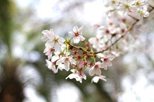 春のお昼に桜を見ながら食べるお弁当は格別です。