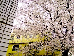 春には桜が咲き誇り、とても綺麗です。